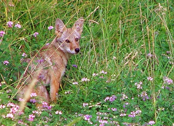 Coyote by Lindenbaum, used under the CC BY license