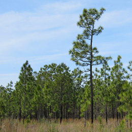longleaf-pines_sq
