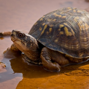 Eastern_Box_Turtle-27527-1_